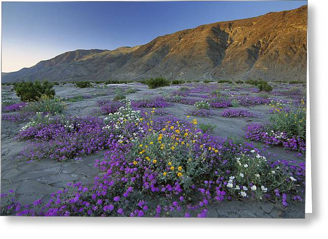 Sand Verbena And Desert Sunflowers Greeting Card by Tim Fitzharris