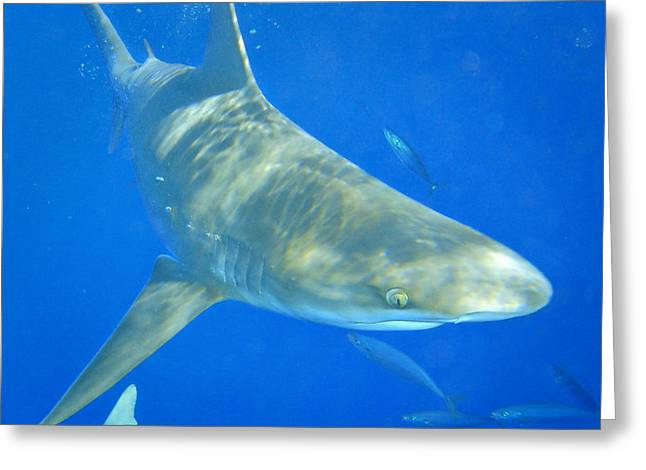 Sandbar Shark Greeting Card