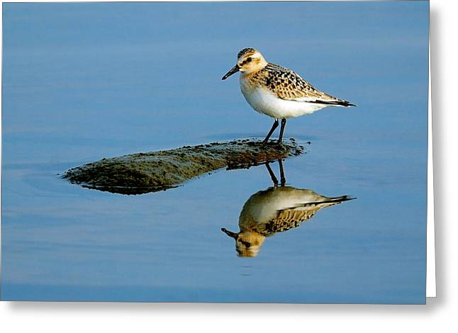 Sanderling Reflecting Greeting Card by Tony Beck