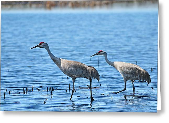 Sandhill Crane Couple Greeting Card by Greg Norrell