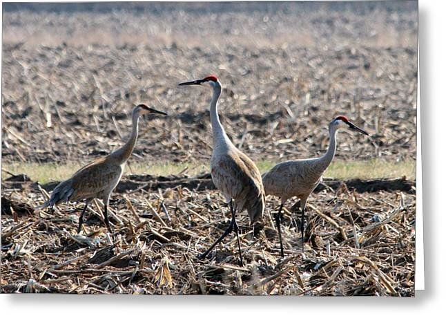 Greeting Card featuring the photograph Sandhill Crane Trio by Mark J Seefeldt
