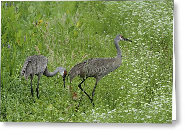 Greeting Card featuring the photograph Sandhill Cranes And Chick by Bradford Martin