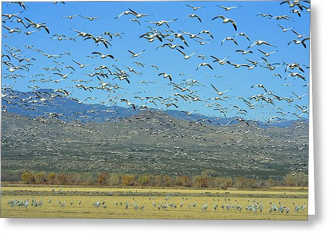 Sandhill Cranes And Snow Greeting Card by Norbert Rosing