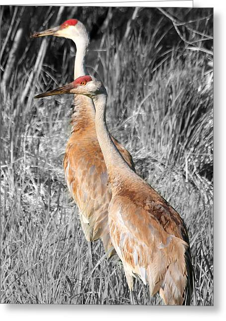 Sandhill Cranes In Select Color Greeting Card by Mark J Seefeldt