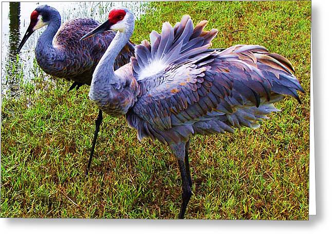 Greeting Card featuring the photograph Sandhill Cranes-plumes In Bloom by Joy Braverman