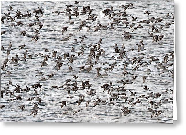 Greeting Card featuring the photograph Sandpipers In Flight by Dan Friend