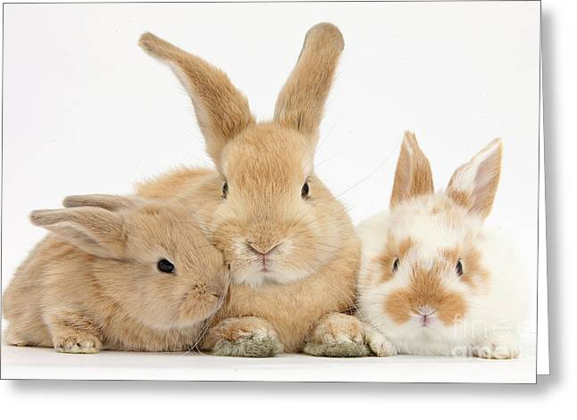 Sandy Rabbit And Babies Greeting Card by Mark Taylor