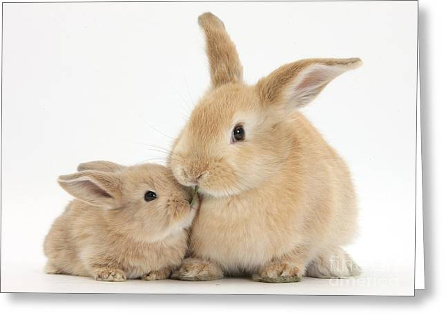 Sandy Rabbit And Baby Greeting Card by Mark Taylor