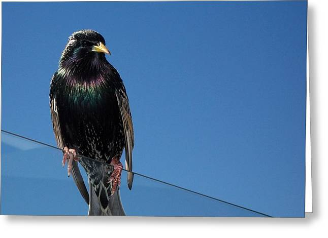 Santa Monica Pier Starling Greeting Card by Peter Mooyman