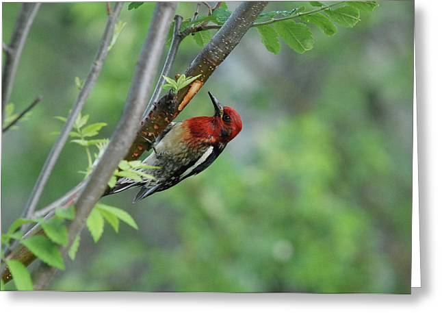 Sapsucker Feeding Greeting Card