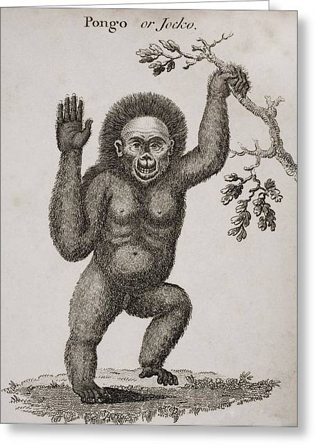 Satyrus, Ourang Outang. Pongo Or Jocko Greeting Card by Ken Welsh