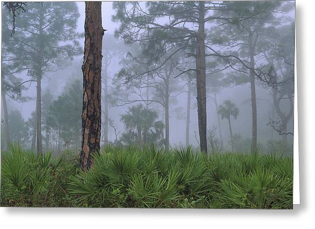 Saw Palmetto And Pine In Fog Greeting Card by Tim Fitzharris