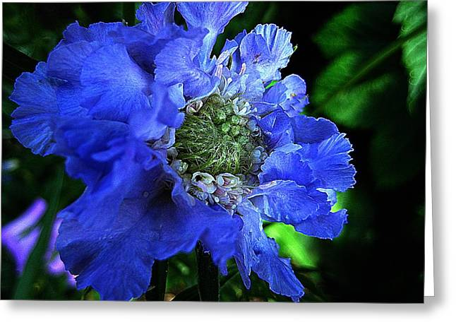 Scabiosa Greeting Card by Shirley Sirois