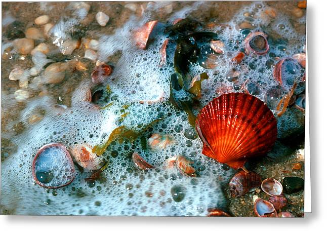 Greeting Card featuring the photograph Scallop And Seaweed 11c by Gerry Gantt