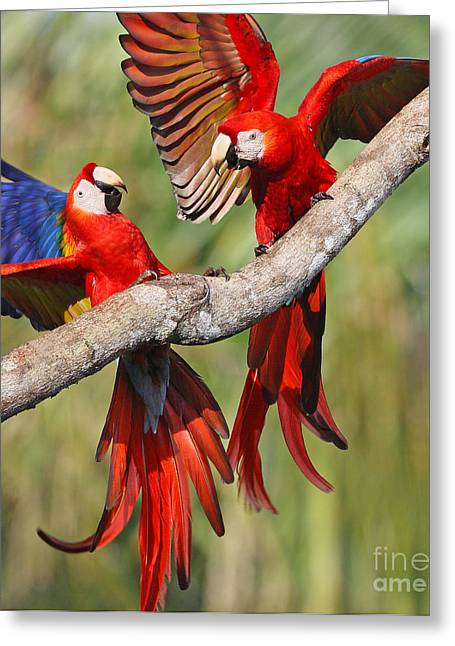 Scarlet Macaws Greeting Card