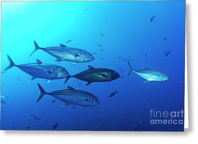 School Of Bigeye Jack Fishes Greeting Card by Sami Sarkis