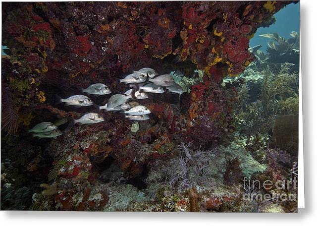School Of Gray Snapper Amongst Greeting Card by Terry Moore