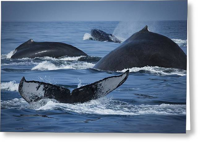 School Of Humpback Whales Greeting Card by Darren Greenwood