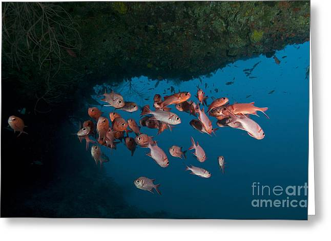 School Of Red Bigeye Under A Rocky Greeting Card by Mathieu Meur