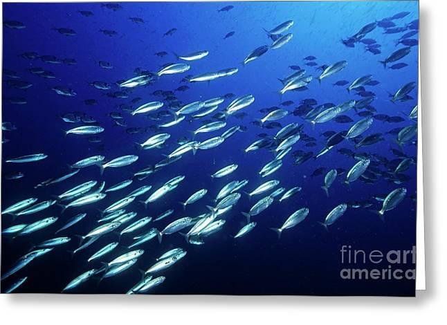 School Of Sardines Greeting Card by Sami Sarkis