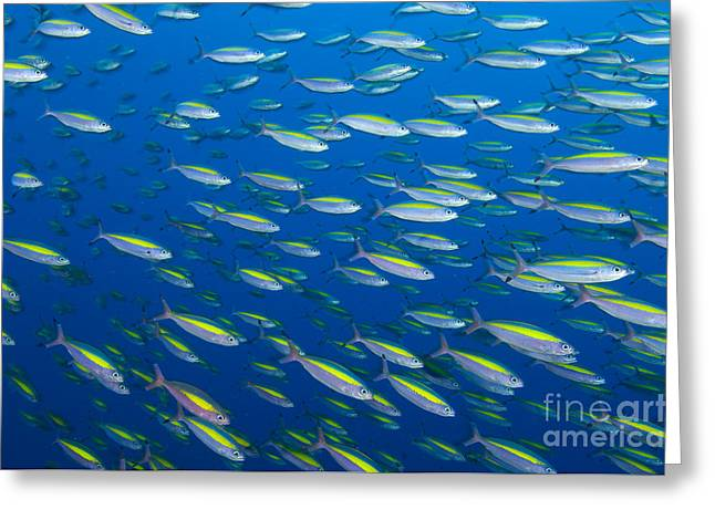 School Of Wide-band Fusilier Fish Greeting Card by Steve Jones