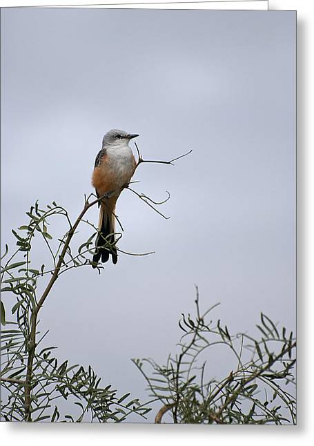Scissor Tailed Flycatcher Greeting Card by Melany Sarafis