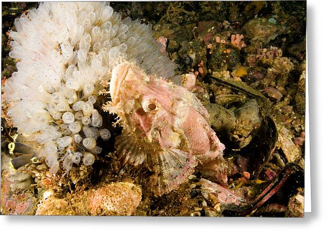 Scorpionfish Likely Tassled Greeting Card