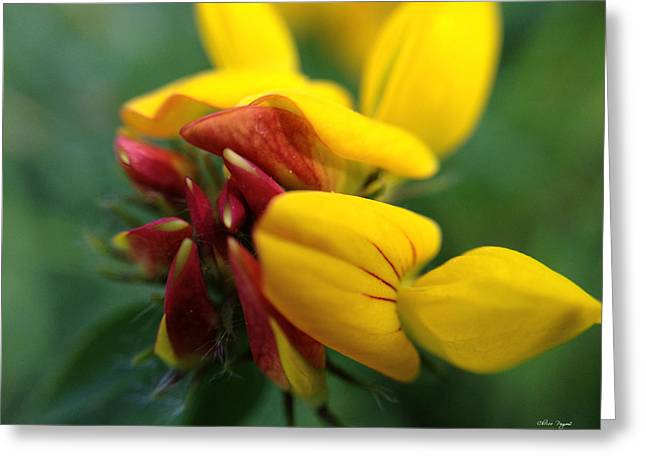 Scotch Broom Greeting Card