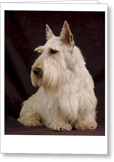 Scottish Terrier - Scotty 107 Greeting Card by Larry Matthews