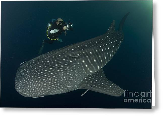 Scuba Diver And Whale Shark, Papua Greeting Card by Steve Jones