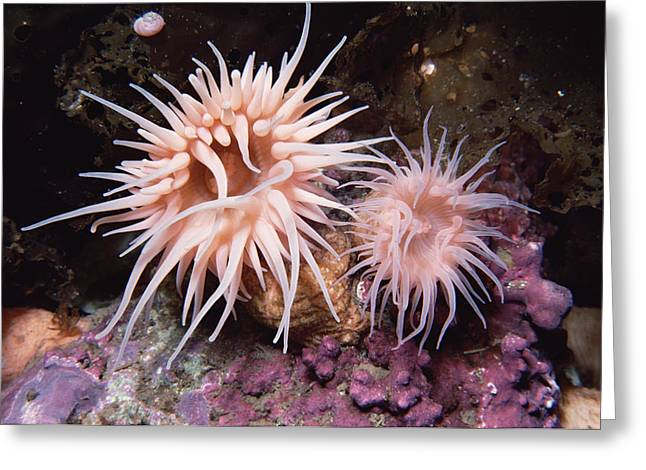 Sea Anemones In  Admiralty Inlet Greeting Card by Flip Nicklin