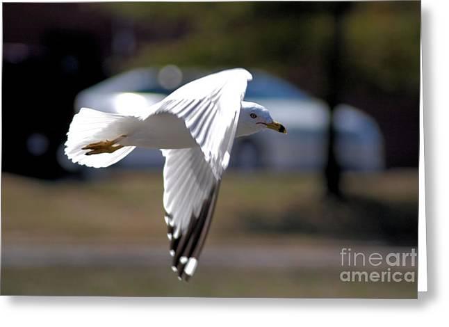 Sea Gull In Flight Greeting Card by Mark McReynolds