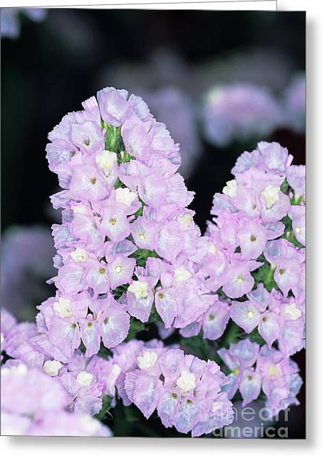 Sea Lavender Greeting Card by Adrian Thomas