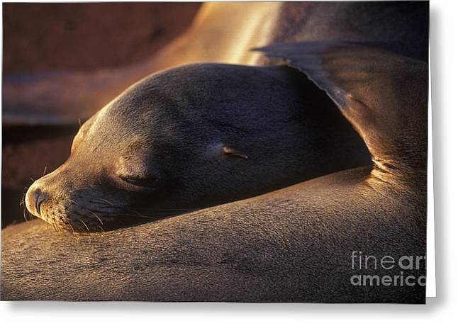 Greeting Card featuring the photograph Sea Lion - Galapagos by Craig Lovell