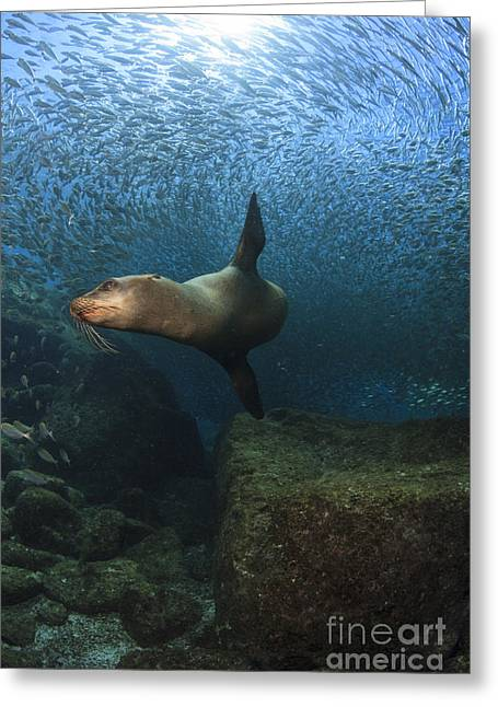 Sea Lion Chasing A School Of Bait Fish Greeting Card