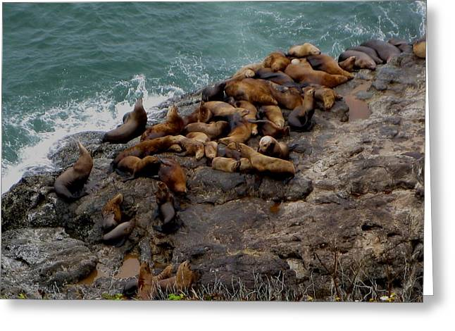 Sea Lions 3 Greeting Card by Kathy Long