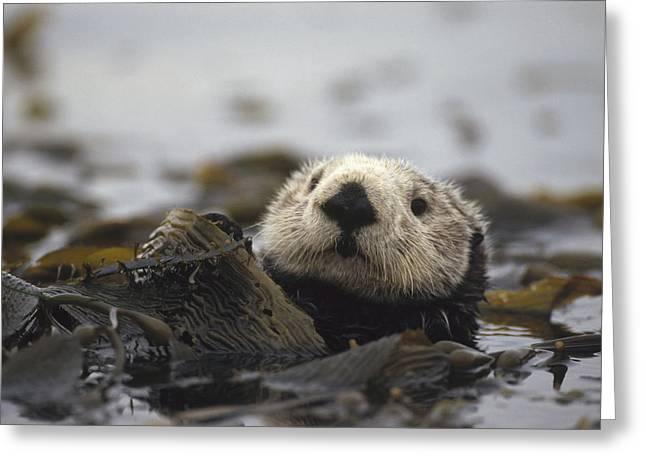 Sea Otter Enhydra Lutris In Kelp Bed Greeting Card