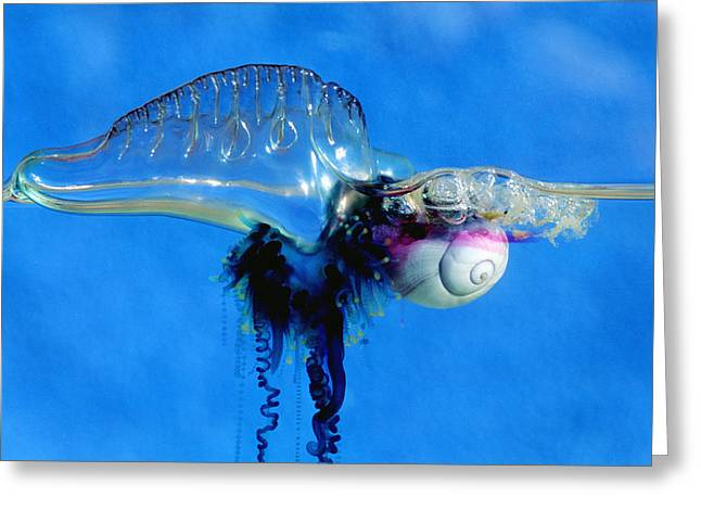 Sea Snail Attacking Portuguese Man-of-war Greeting Card by Georgette Douwma