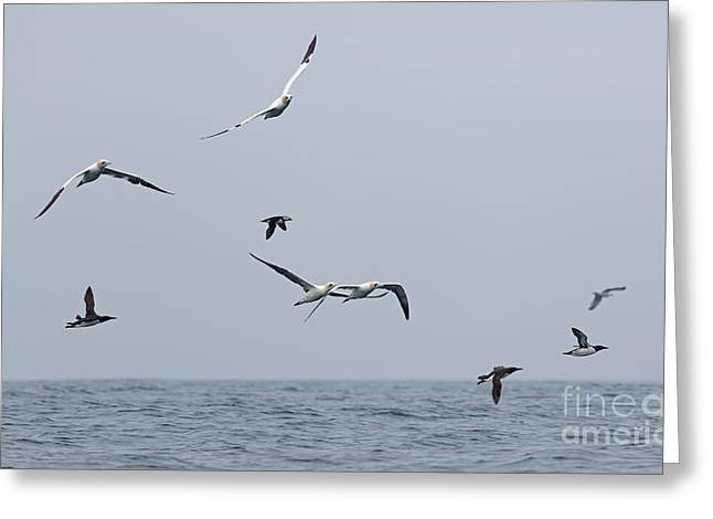 Seabirds In Flight Greeting Card by Louise Heusinkveld