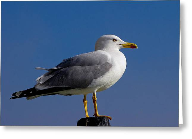 Greeting Card featuring the photograph Seagull by David Gleeson
