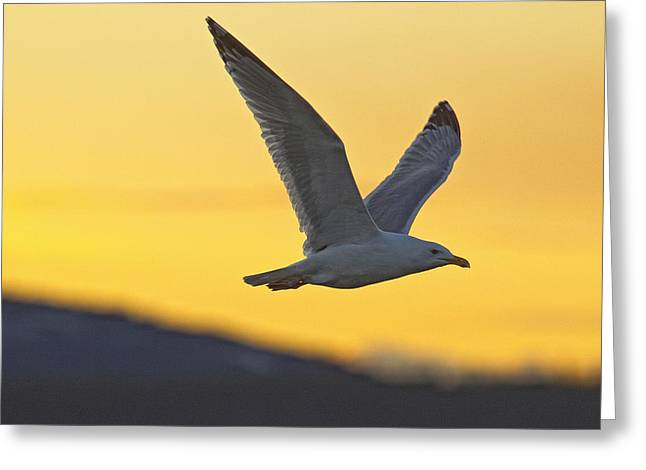 Seagull Flying At Dusk With Sunset Greeting Card by Robert Postma