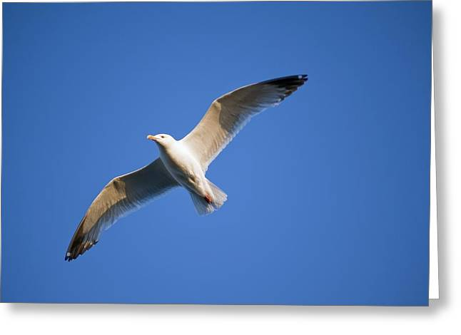 Seagull Flying Greeting Card by Keith Levit