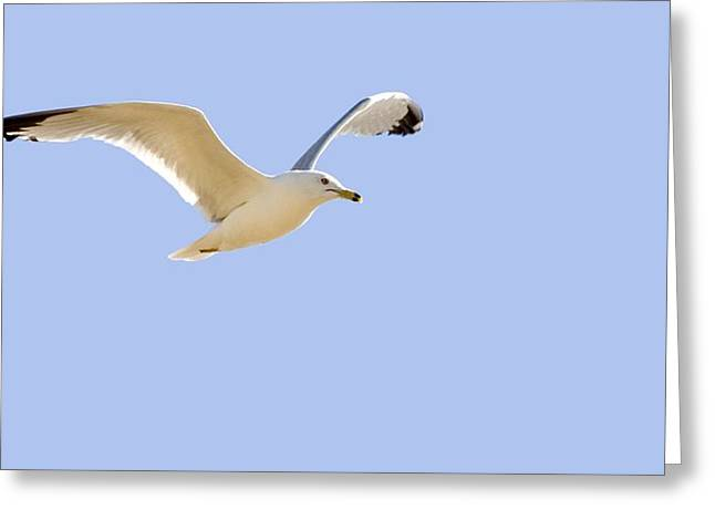 Seagull In Flight Greeting Card by Don Hammond