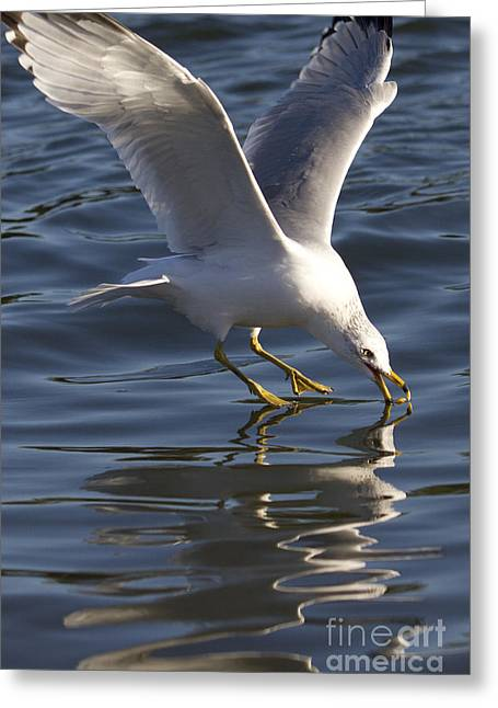 Seagull On Water Greeting Card by Dustin K Ryan
