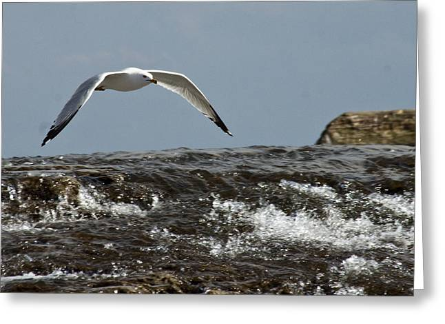 Greeting Card featuring the photograph Seagull Overt The Rapids by Darleen Stry