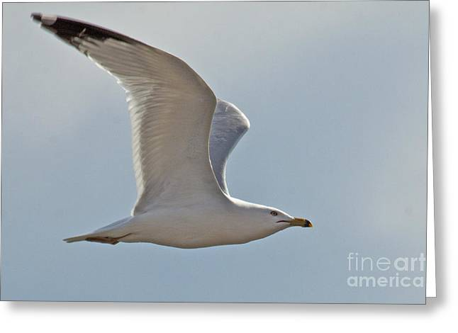 Seagull Soaring Greeting Card by Darleen Stry