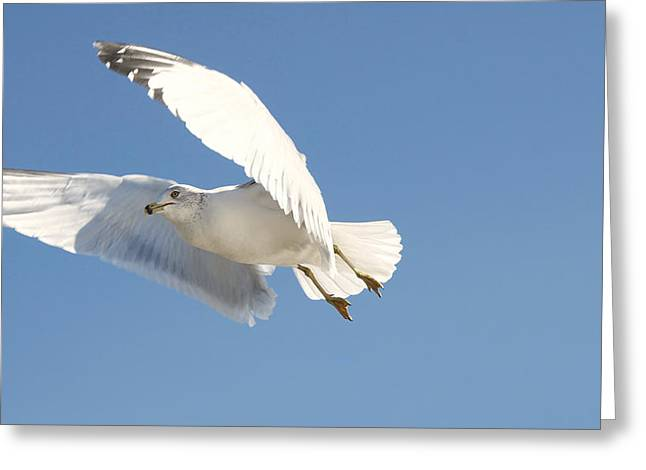 Seagull Greeting Card by Steven Michael