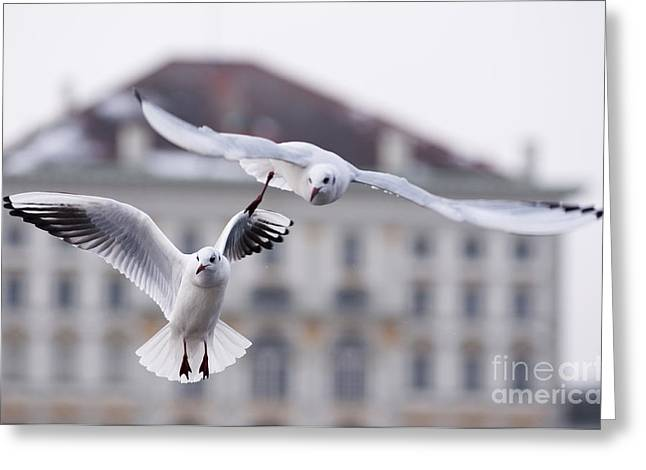 Seagulls At Nymphenburg Palace Greeting Card by Andrew  Michael
