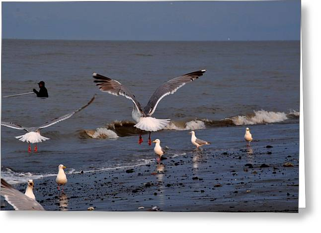 Seagulls Dip Netting  Greeting Card by Debra  Miller