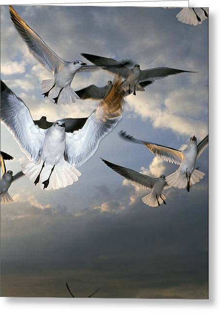Seagulls In Flight Greeting Card